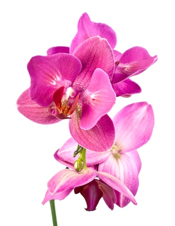 white orchid: purple orchid phalaenopsis over white background. Stock Photo