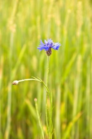 cornflower in a field. summer time. Stock Photo
