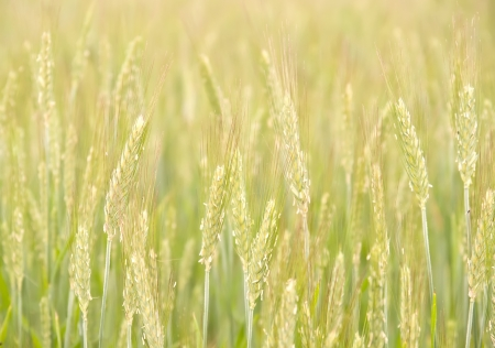 a field of unripe rye. soft nature background.