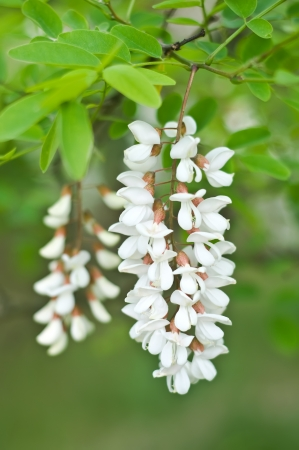 Robinia pseudoacacia. Close up of flowers raceme.