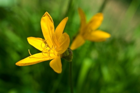 yellow daylily over green grass background. nature wallpaper with soft bokeh. Stock Photo