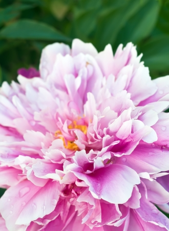 beauty of pink peony. Stock Photo
