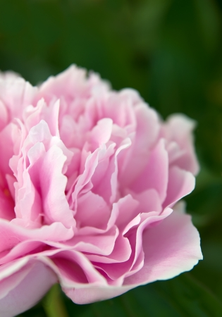 pleony flowers close up.