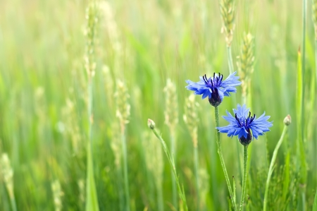 cornflowers in a field. summer time wallpaper. Stock Photo