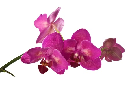 purple orchid isolated ower white Stock Photo