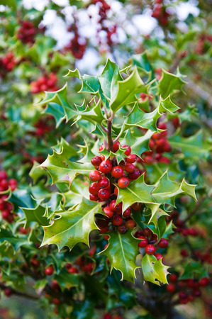 European Holly (Ilex aquifolium) leaves and fruits