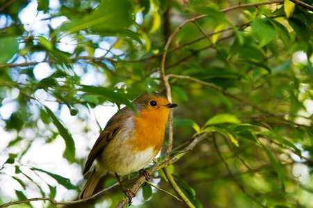The European Robin Erithacus rubecula sitting on the twig.