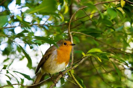 erithacus: The European Robin Erithacus rubecula sitting on the twig.
