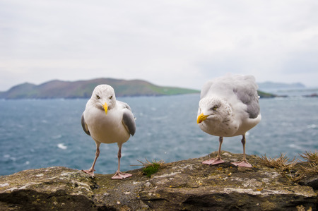 Seagulls in front of picturesque view of Ireland.