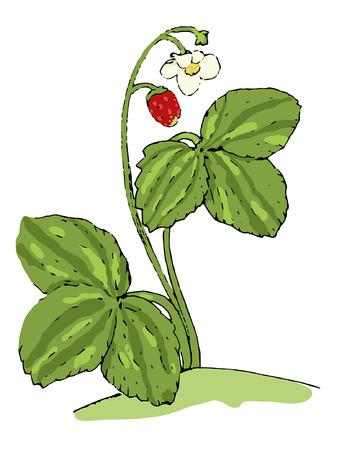 wild strawberry Illusztráció