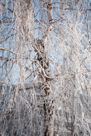 non urban: White birch covered with snow against the sky