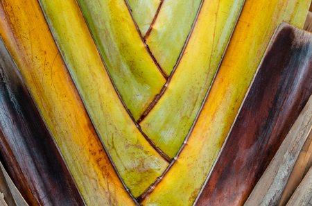progression: Trunk of banana palm. Progression of colors. Stock Photo