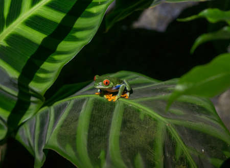 amphibia: Red Eyed Tree Frog in Costa Rica