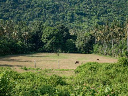 Koeien grazen op het voetbalveld in Lombok, Indonesië