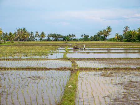 Farmer using walking tractors for rice plantation in Lombok, Indonesia