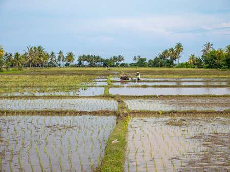 농부가 인도네시아 롬복 (Lombok)에서 쌀 농사를 위해 걷는 트랙터를 사용합니다.