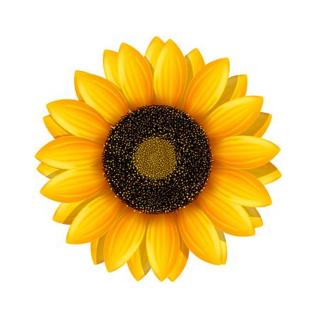 sunflower isolated: illustration of realistic sunflower isolated on white