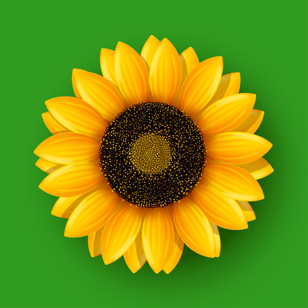 sunflower isolated: illustration of realistic sunflower isolated on green background