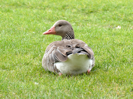 greylag: Greylag goose sitting in grass looking back in camera