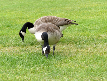 canadian geese: Two canadian geese grazing in the grass