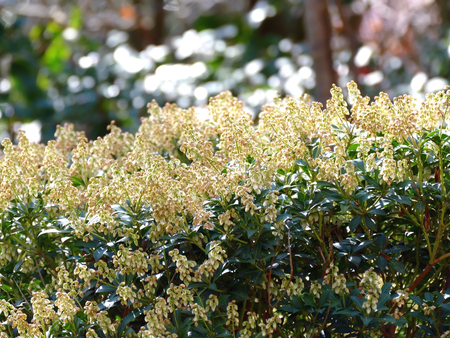 japonica: Blooming Pieris Japonica in blurred background Stock Photo