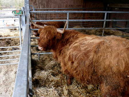 cows red barn: Scottish highlanders in barn