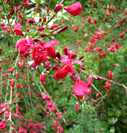 faboideae: Scotch broom red. Cytisus scoparius
