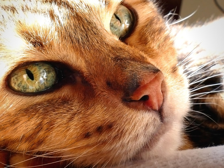 ooking: Bengal cat: Snoozing bengal cat head closeup