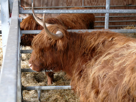 hairy back: Scottish highlander in barn side view