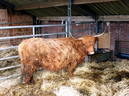 cows red barn: Scottish highlander in barn