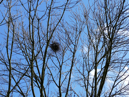 high up: Bird nest high up in trees with blue sky