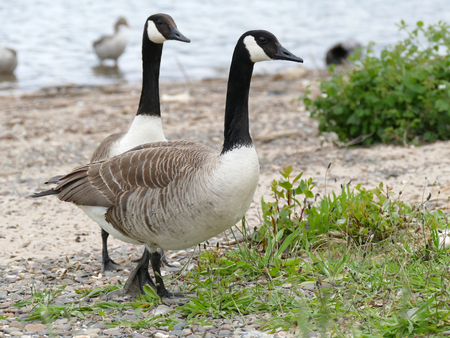 canadian geese: Two canadian geese on the river bank Stock Photo