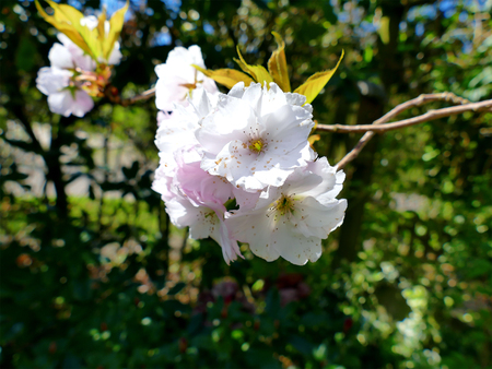 accolade: Pink Flowering Cherry blossoms in garden, flower close up Stock Photo