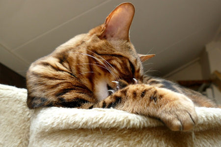 cat grooming: Bengal cat grooming its paw and toes
