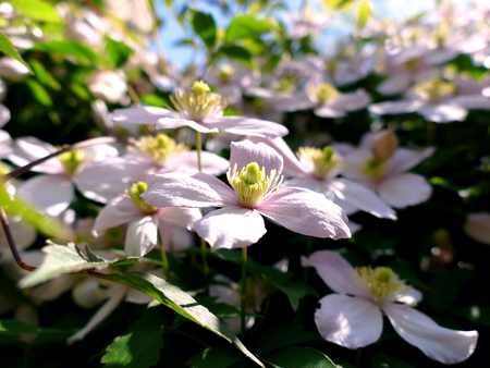 Clematis montana climbing plant with many pink flowers on a sunny clematis montana climbing plant with many pink flowers on a sunny day stock photo 58815424 mightylinksfo