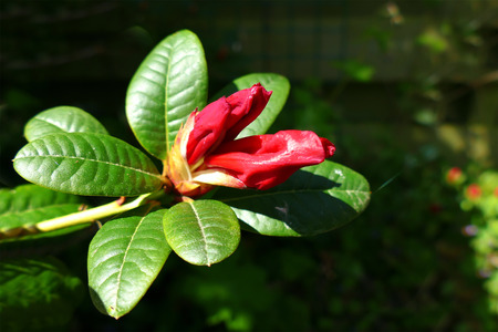 almost: Red rhodonendron bud in garden almost opening Stock Photo