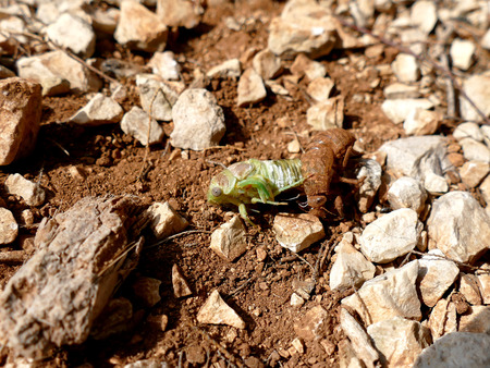 cigarra: Cicada crawling out of husk, molting cicada on the ground