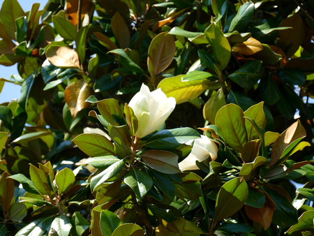 southern: Southern Magnolia Tree Flower Stock Photo