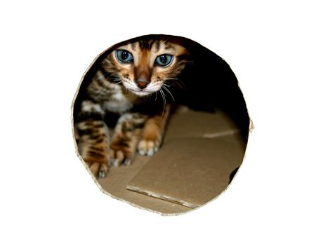 Bengal cat kitten head peeking through look hole of cardboard box in white