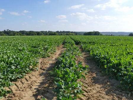 Field of rows of Sugar beet plants in the sun with blue sky