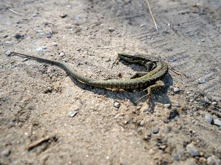viviparous: Small brown lizard on the sand. Viviparous Lizard