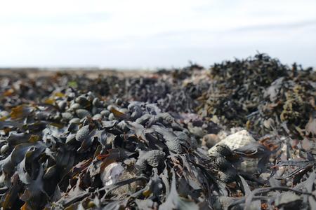 algas marinas: Alga marina durante la bajamar cierre colorido encima Foto de archivo