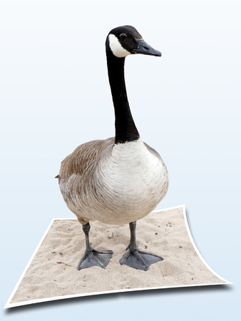 Canadian goose on sandy river bank looking in camera. 3D, Pop-Out Photo Effect