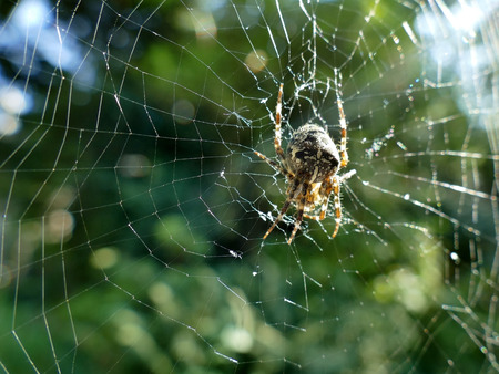 animal trap: Garden spider in cobweb with sun flares in blurred background
