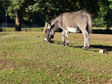 Young donkey wearing a bridle grazing at meadow in the petting zoo Stock Photo
