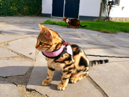 Bengal kitten on a leash in garden with bengal on leash in background Stock fotó
