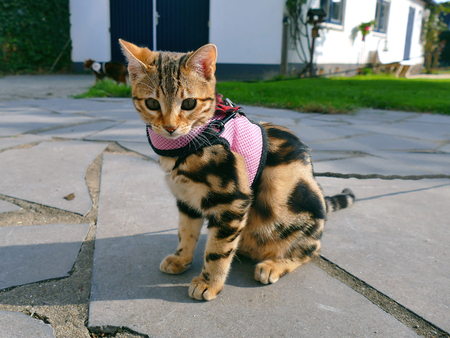 Bengal kitten on a leash in garden with bengal on leash in background