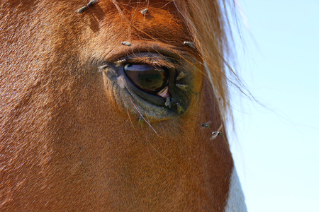 Horse head with a lot of flies around the eye close up
