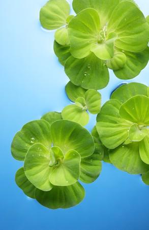 con las plantas verdes que flotan en el agua de rocío Foto de archivo - 4009170