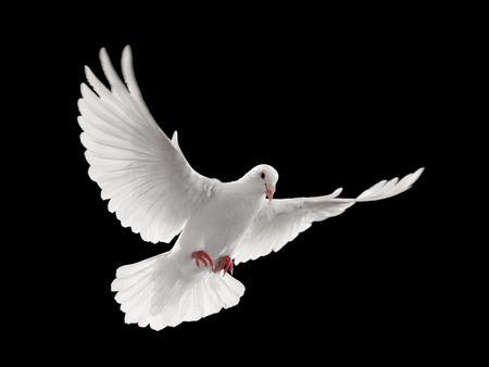 piuma bianca: battenti la colomba bianca su sfondo nero isolato
